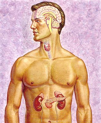 The Glandular System