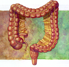 The Intestinal System